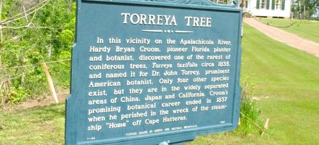 torreya tree